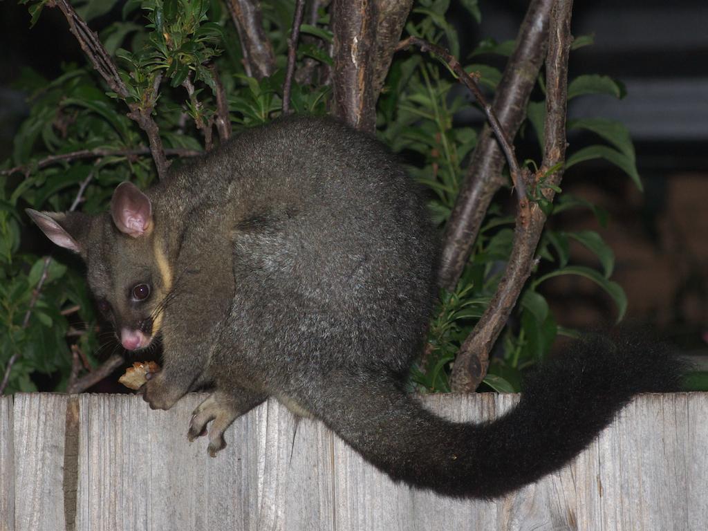 Australian Brushtail Possum