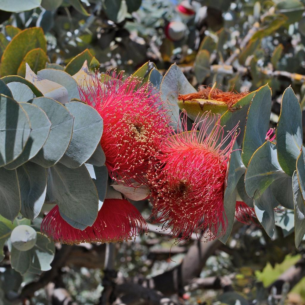 western australian flora
